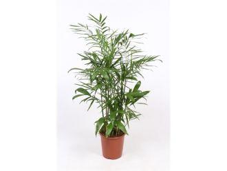 Palmboom - Chamaedorea Elegans (80 cm)
