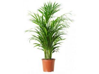 Areca Palm Chrysalidocarpus