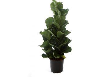 Ficus Lyrata (120 cm)