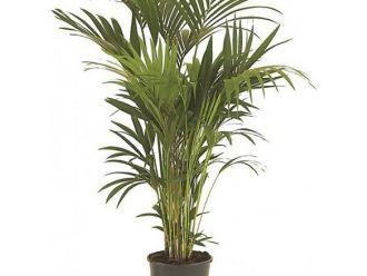 Palm kentia (180 cm)