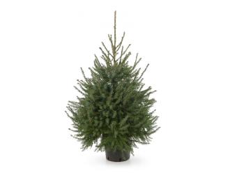 Picea Omorika in pot 125-150