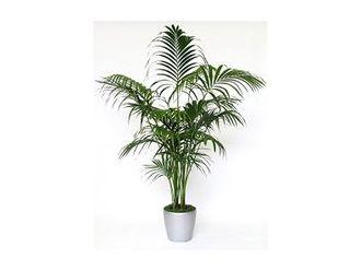 Palm Kentia (80 cm)