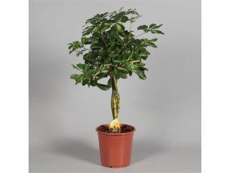 Schefflera Gold Capella (90 cm)