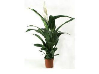 Spathiphyllum (60 cm)