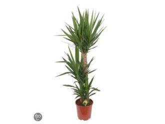 Yucca (90 cm)