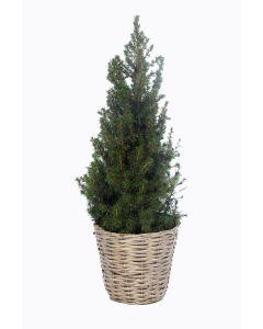 Picea glauca Conica 80cm in mand