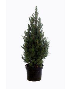 Picea glauca 'Conica' 100cm