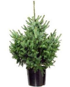 Picea Omorika in pot ca 100cm