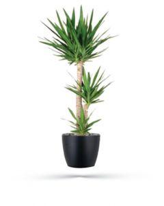 Yucca (130 cm)